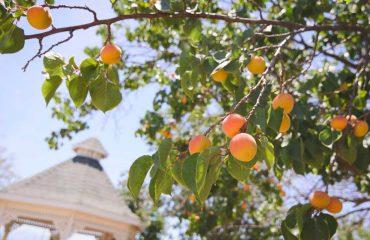 albicocca albero albicocco