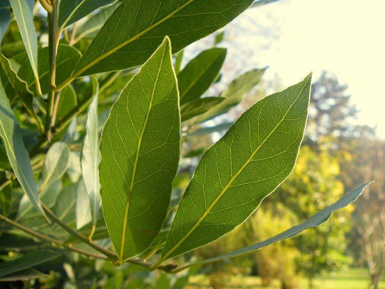 alloro foglie laurus nobilis
