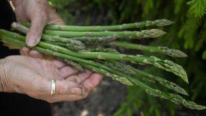 asparagi asparago asparagus