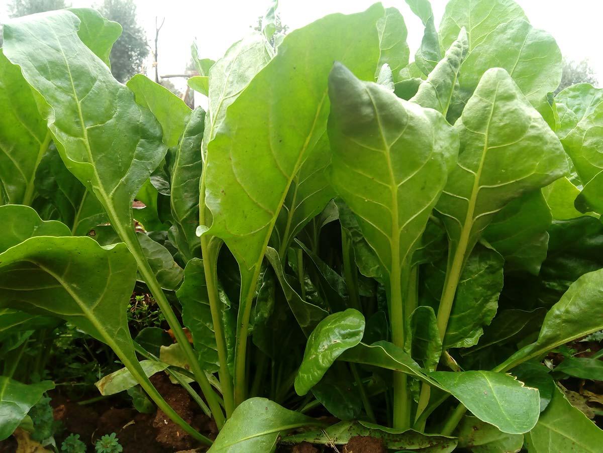 Bieta da taglio: scheda tecnica di coltivazione