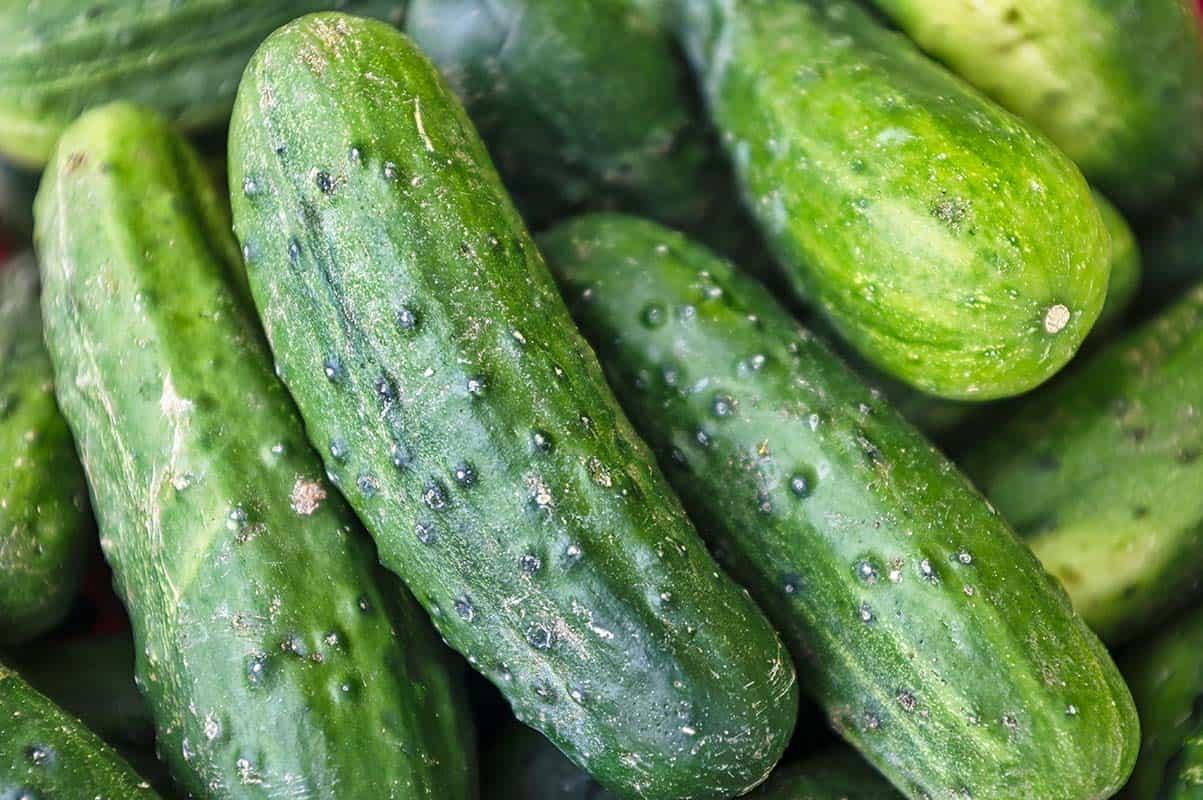 Coltivazione del cetriolo: tecniche e consigli