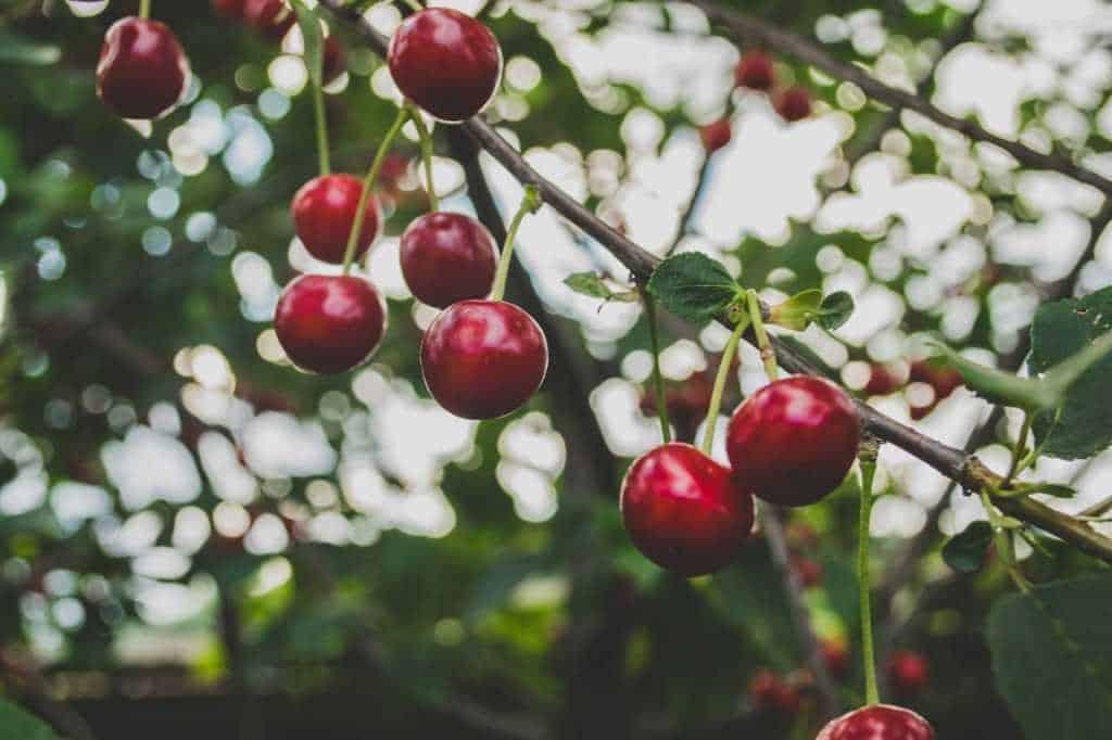 ciliegie sull'albero