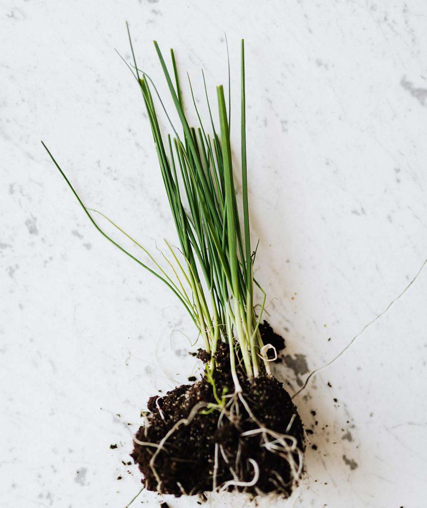 coltivare erba cipollina