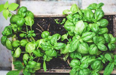 coltivare il basilico