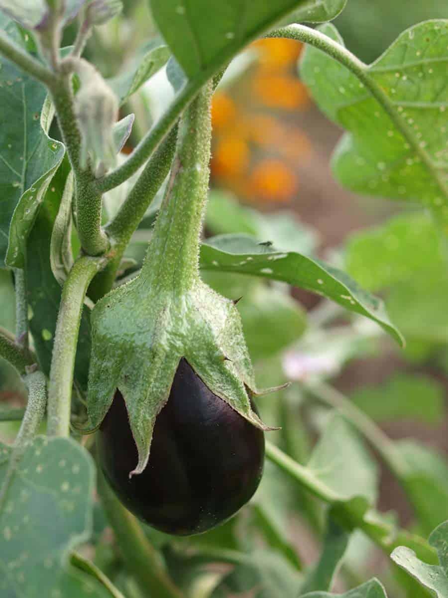 coltivare melanzana