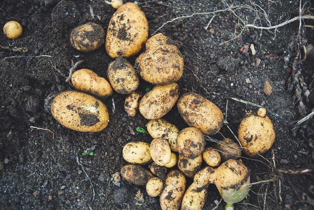 Patate: scheda tecnica di coltivazione