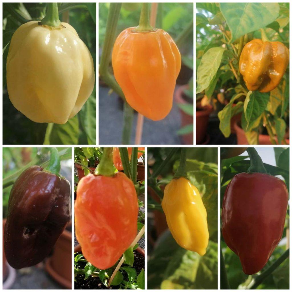 coltivare peperoncini piccanti in casa
