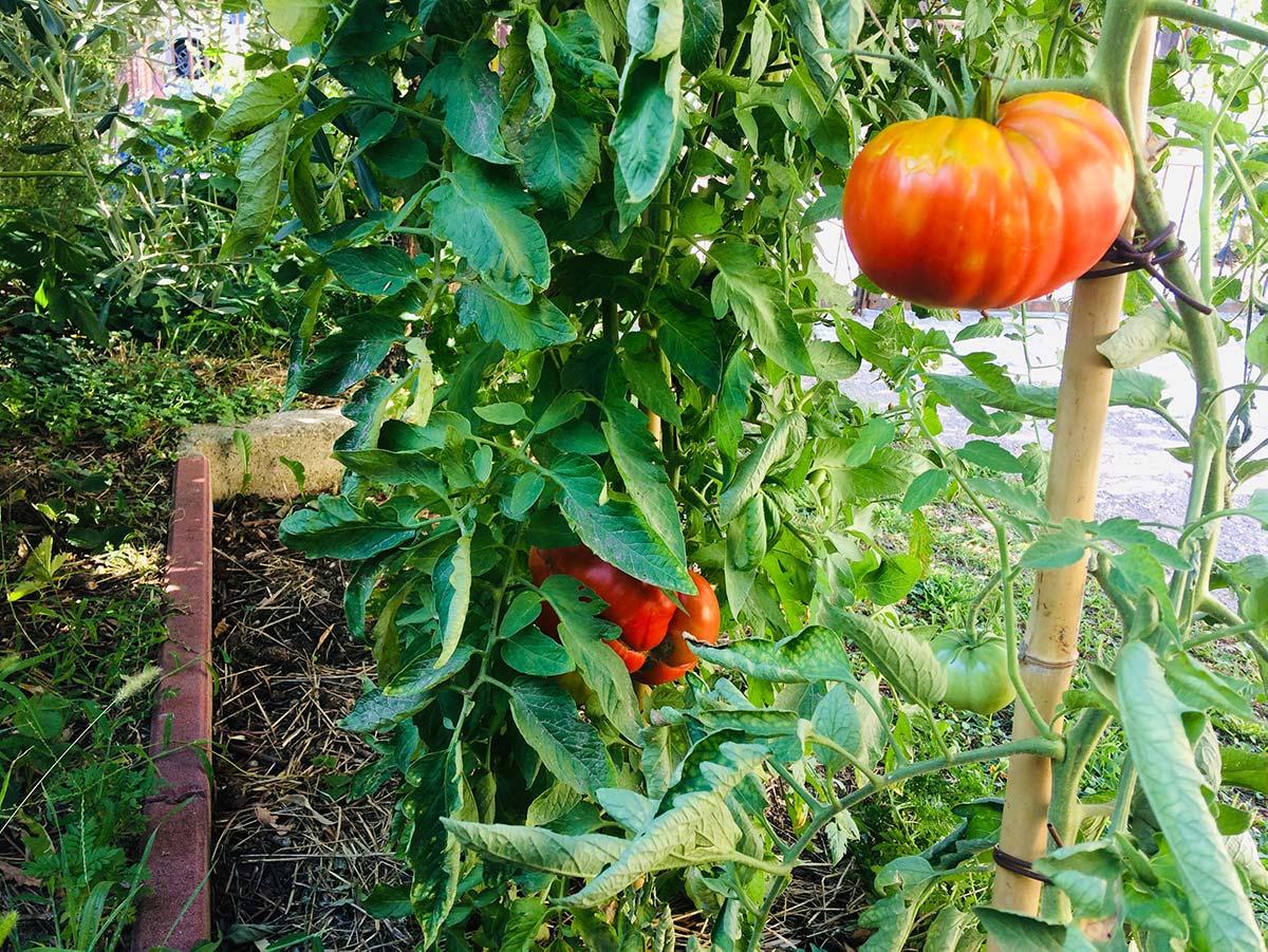 Coltivazione del pomodoro: tecniche e consigli