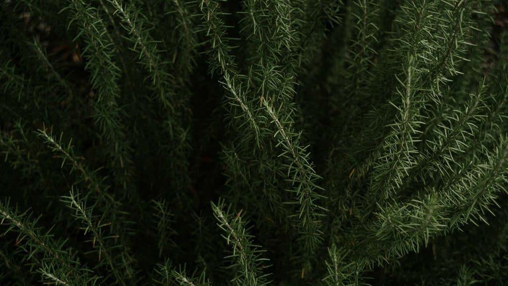 coltivare rosmarino