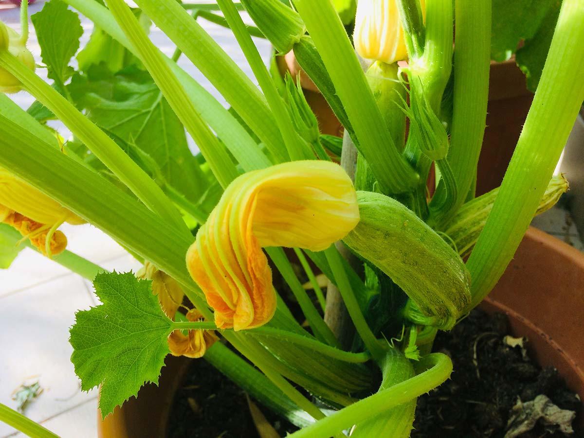 Come coltivare lo zucchino in vaso: tecniche e consigli
