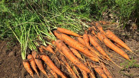 coltivazione carote orto