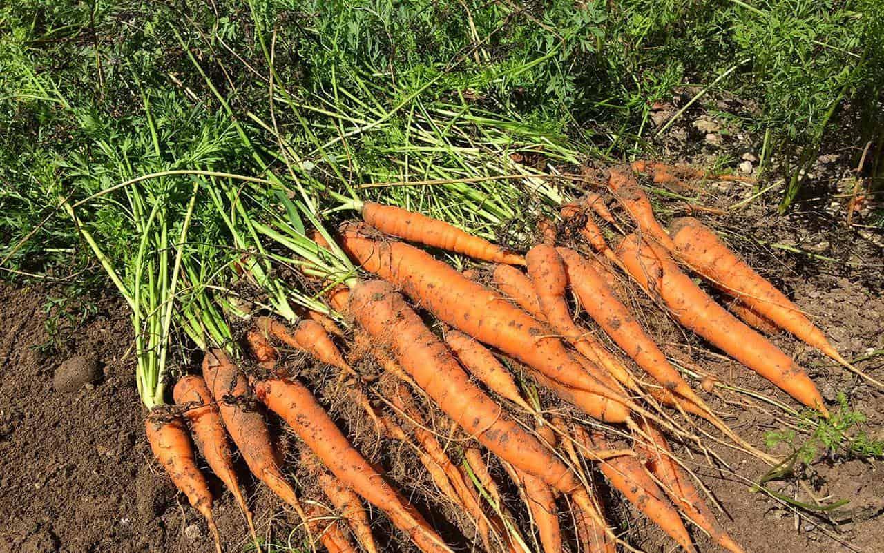 Coltivazione delle carote: tecniche e consigli