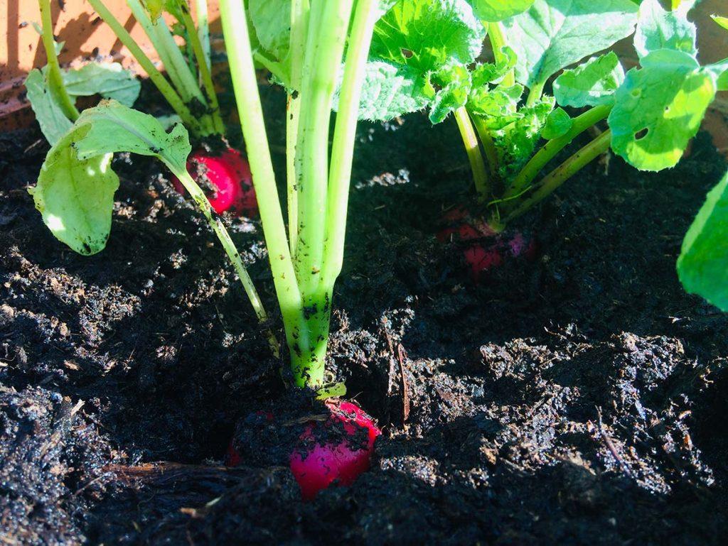 coltivazione ravanelli in vaso