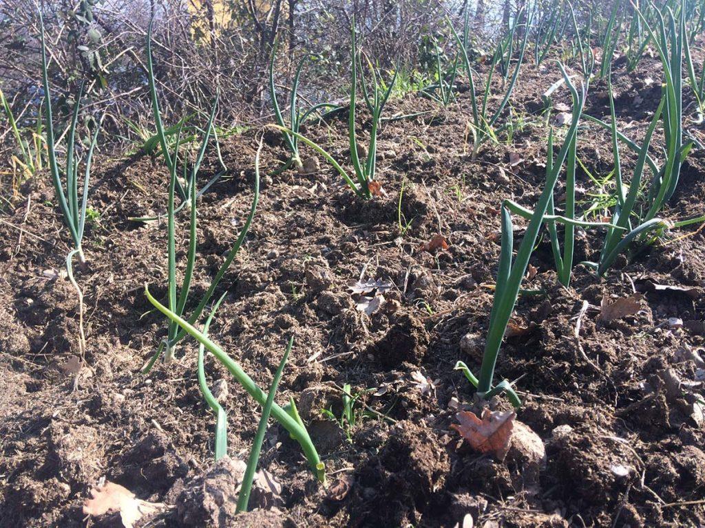 come piantare cipolle