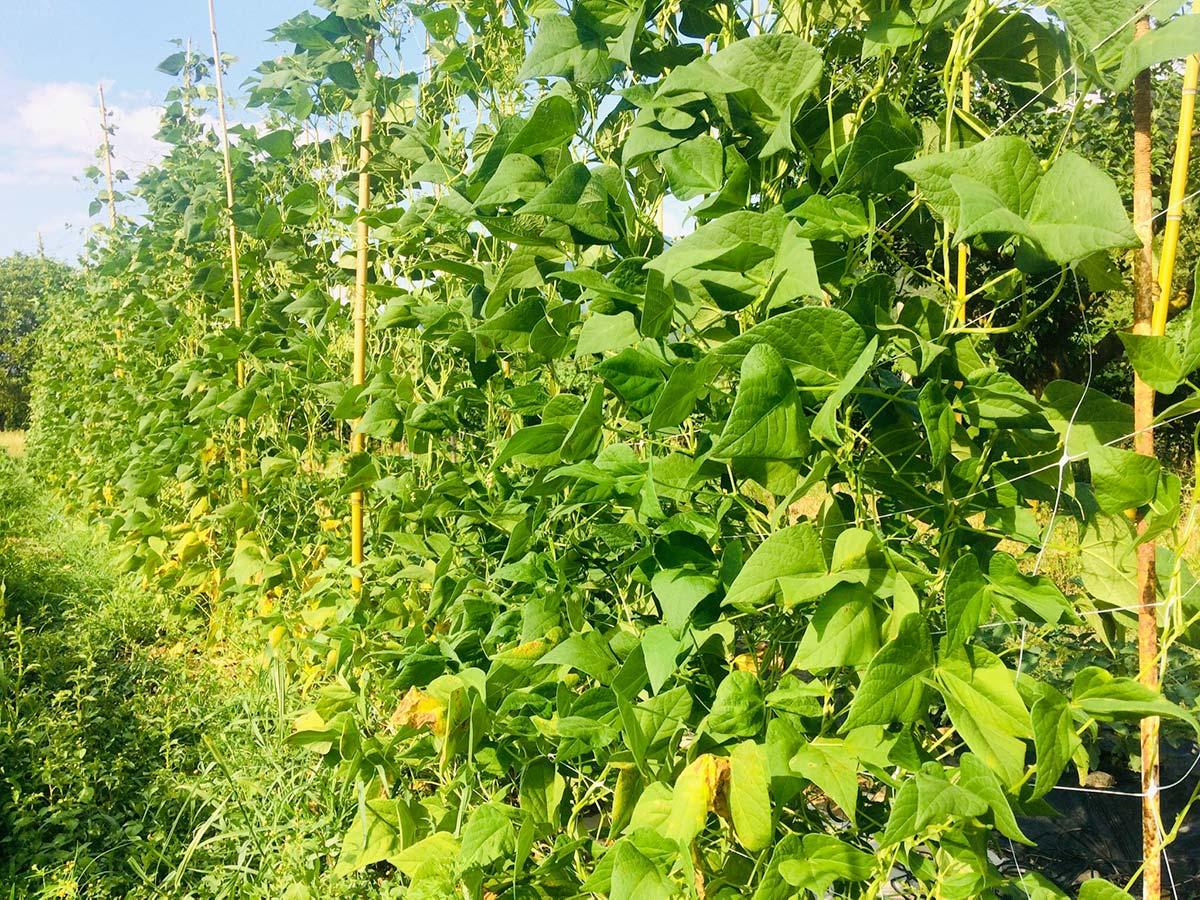 Fagiolo rampicante: scheda tecnica di coltivazione