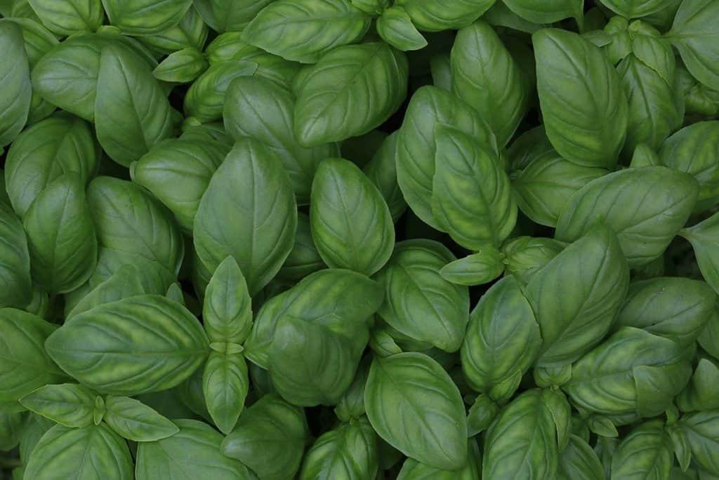 foglie di basilico ocimum basilicum
