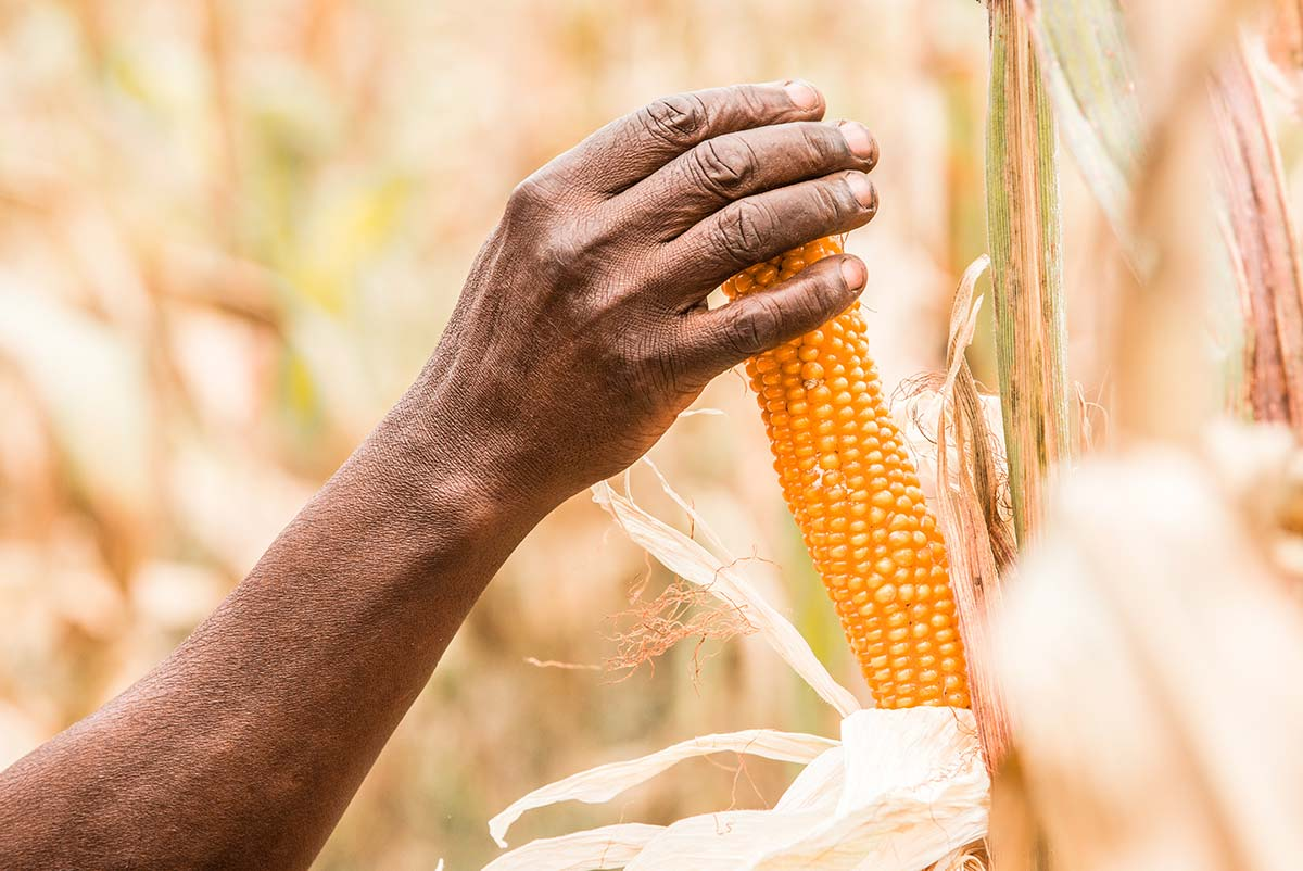 Mais o granoturco: scheda tecnica di coltivazione