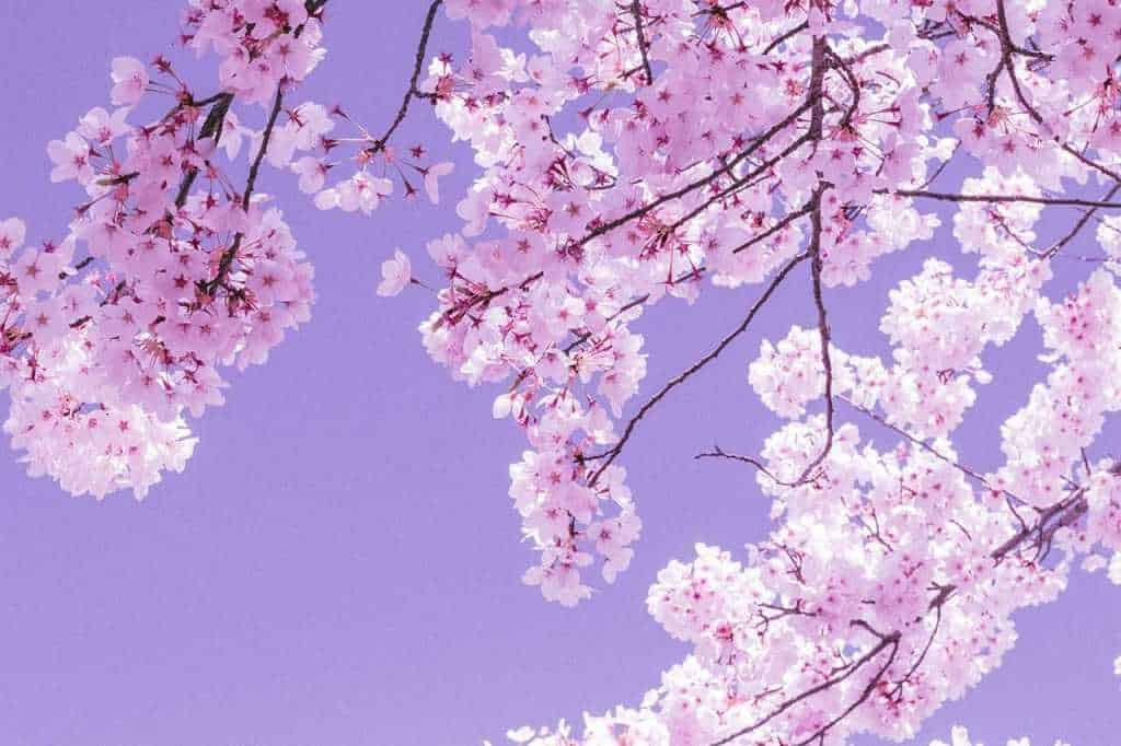 mandorlo pianta fiori rosa