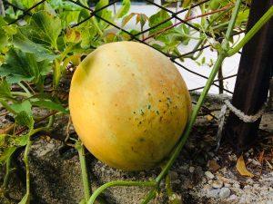 melone in vaso coltivazione