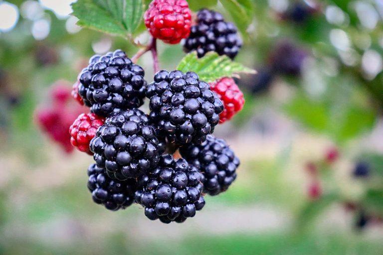 more nere rosse frutti