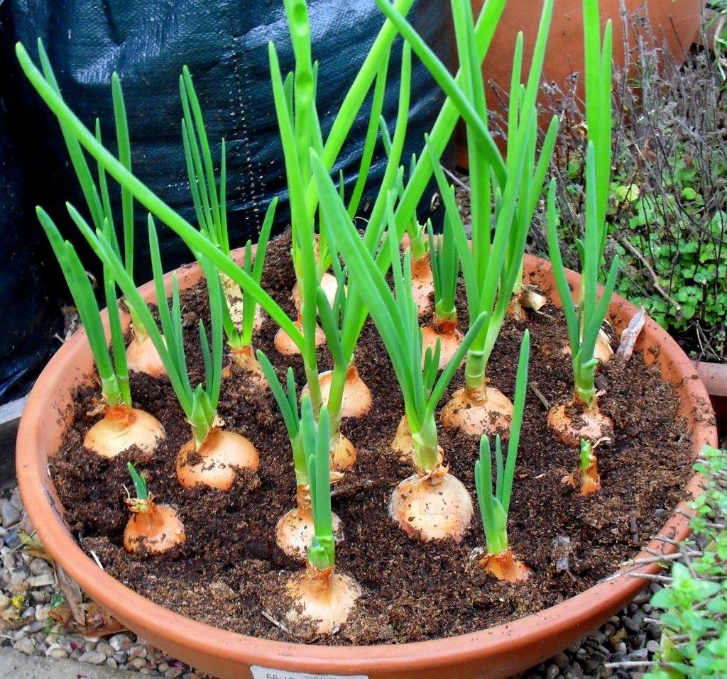 orto in casa cipolle