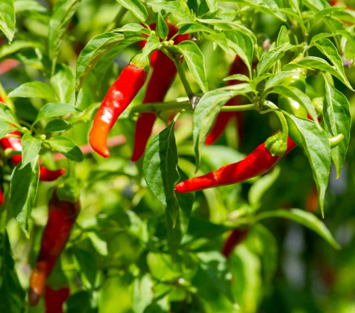 Come coltivare peperoncini piccanti in vaso: tecniche e consigli