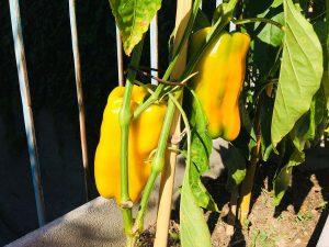 peperoni gialli orto casa