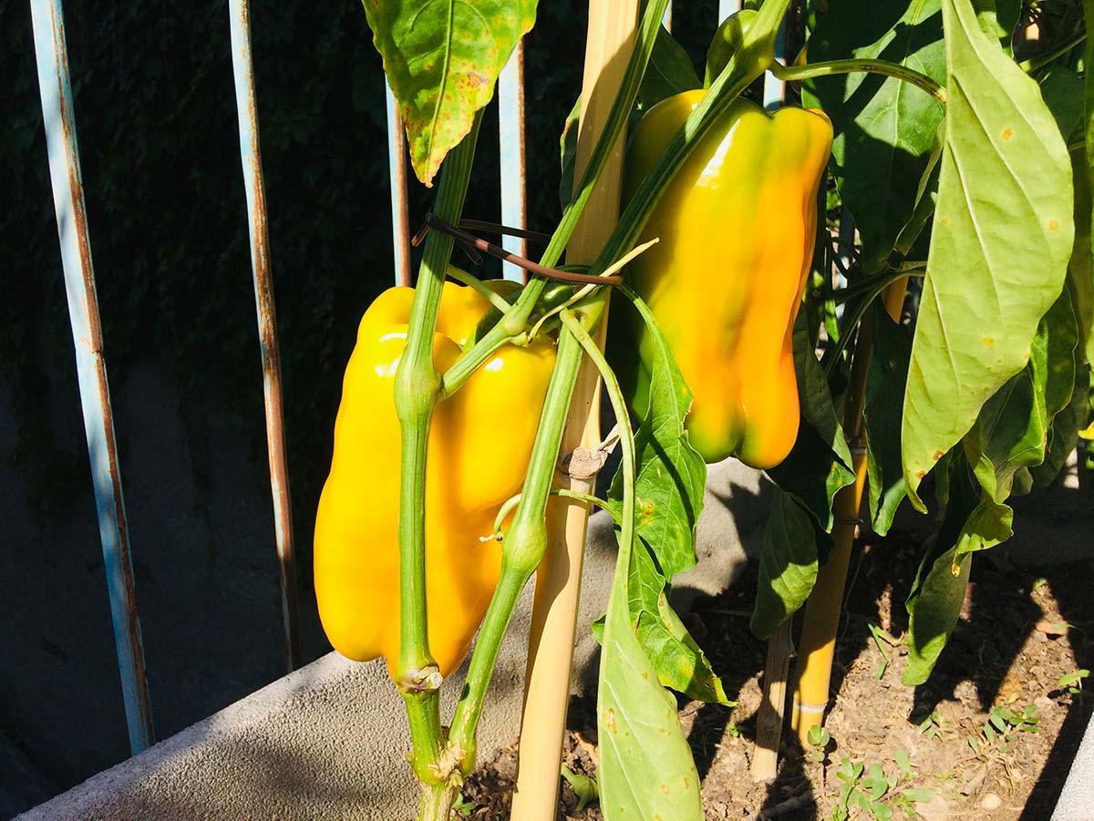Come coltivare peperoni in vaso: tecniche e consigli