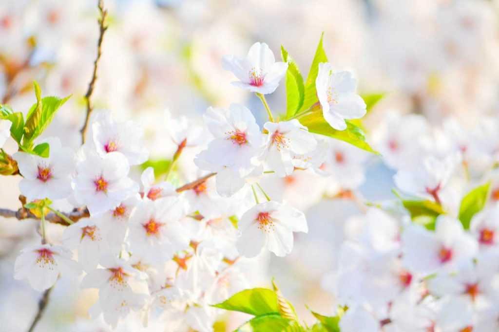 pianta di ciliegio in fiore
