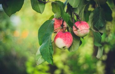 pianta di mele