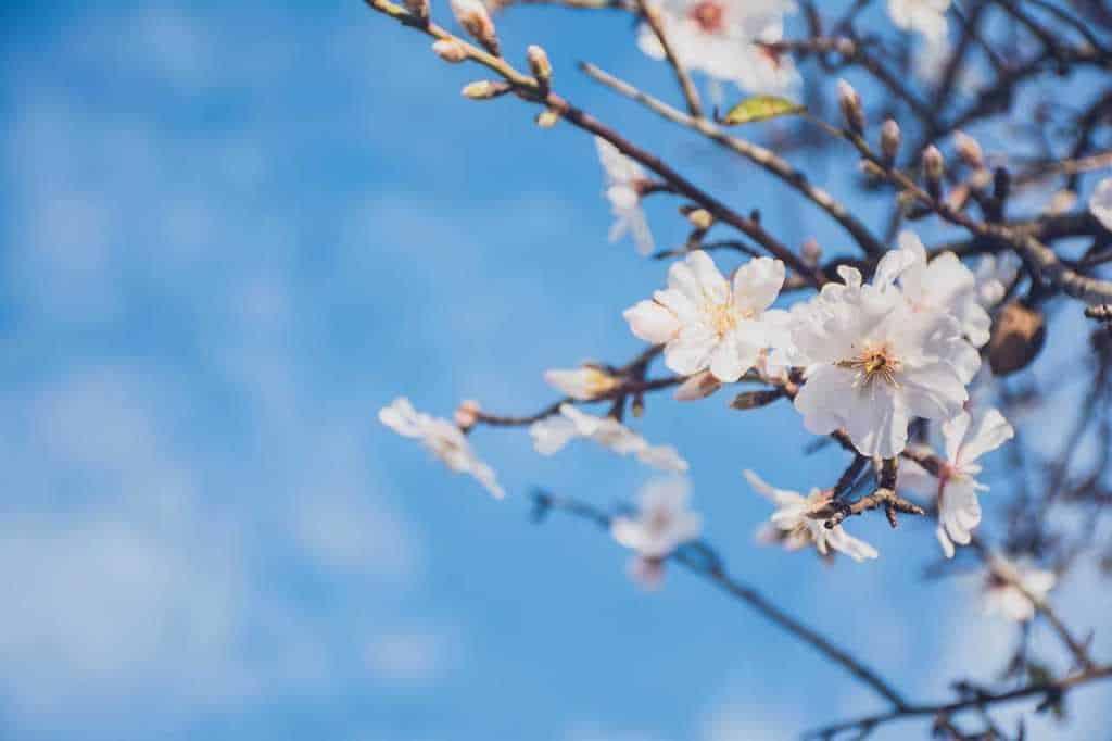 pianta mandorlo fioritura