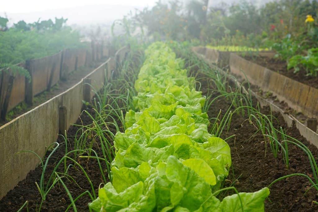 piantare insalata coltivare