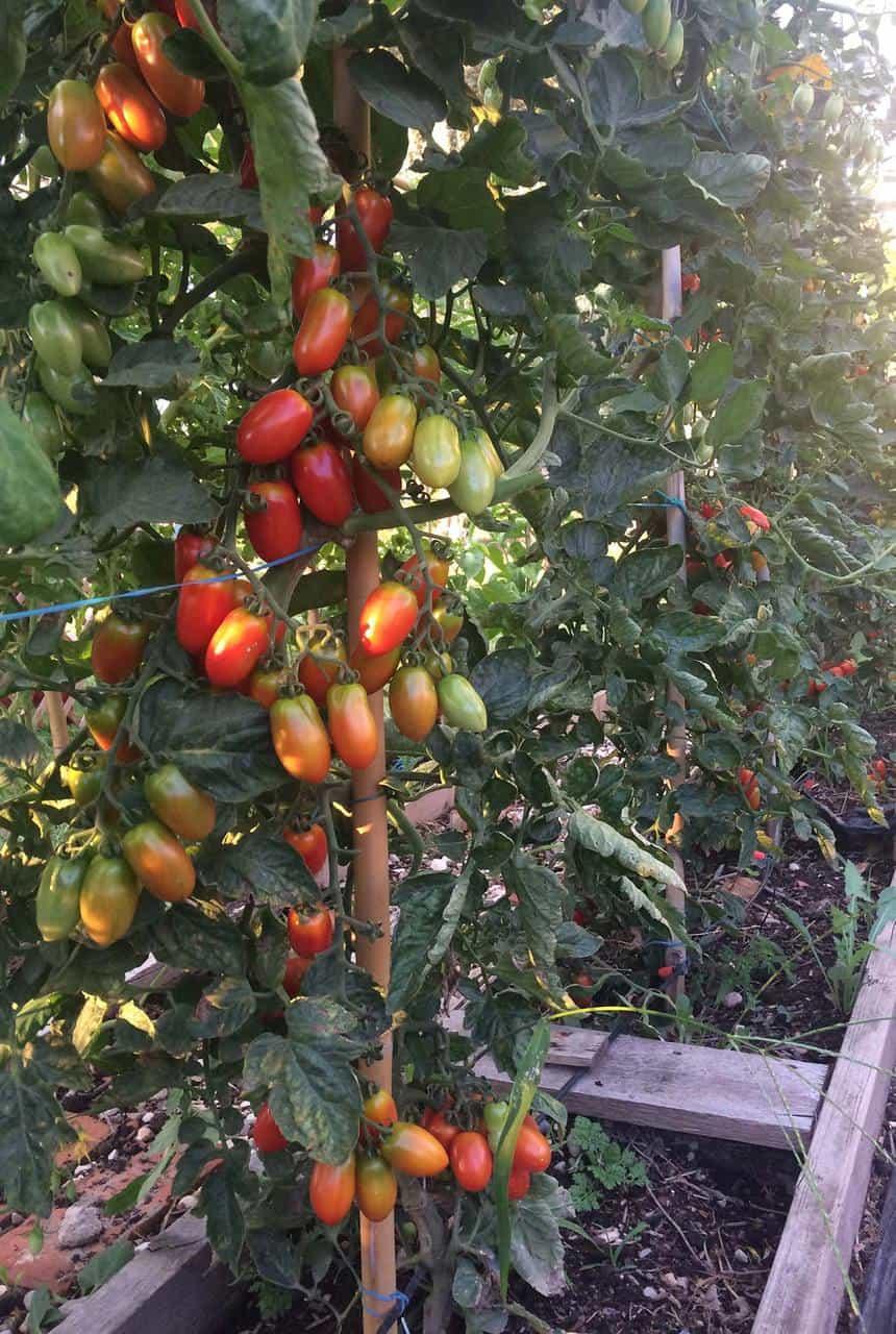 Pomodoro: scheda tecnica di coltivazione