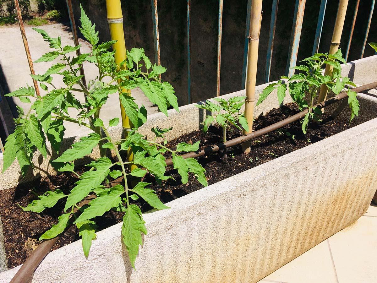 Come coltivare pomodori in vaso: tecniche e consigli