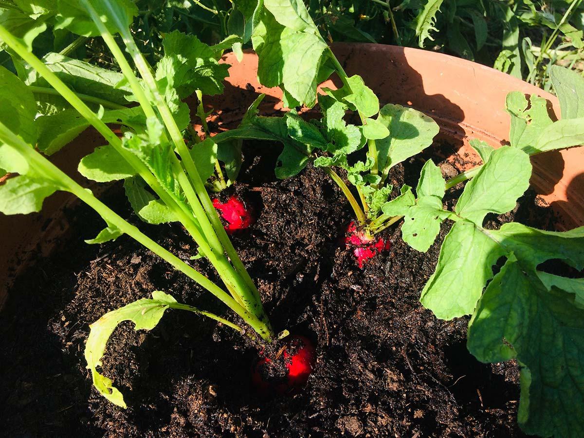 Come coltivare ravanelli in vaso: tecniche e consigli