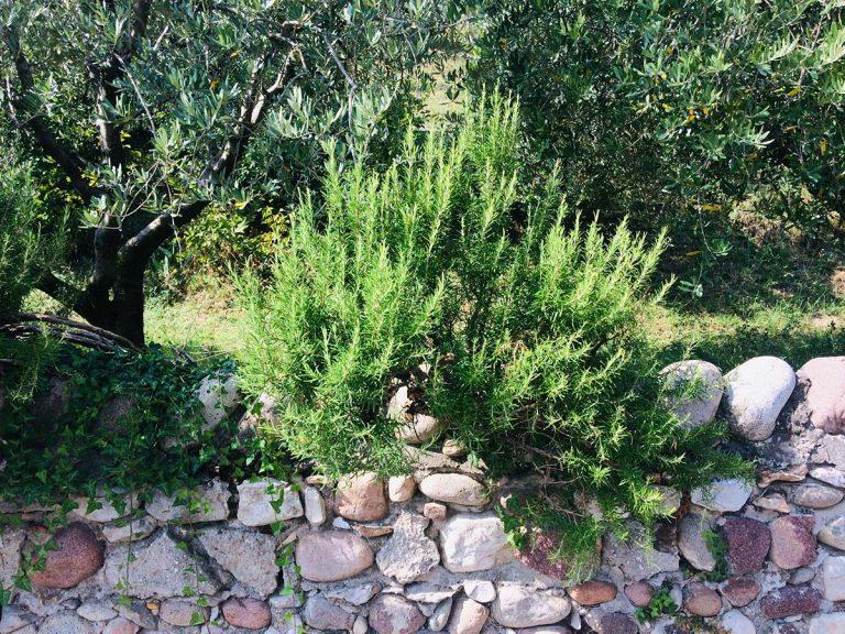 rosmarino arbusto