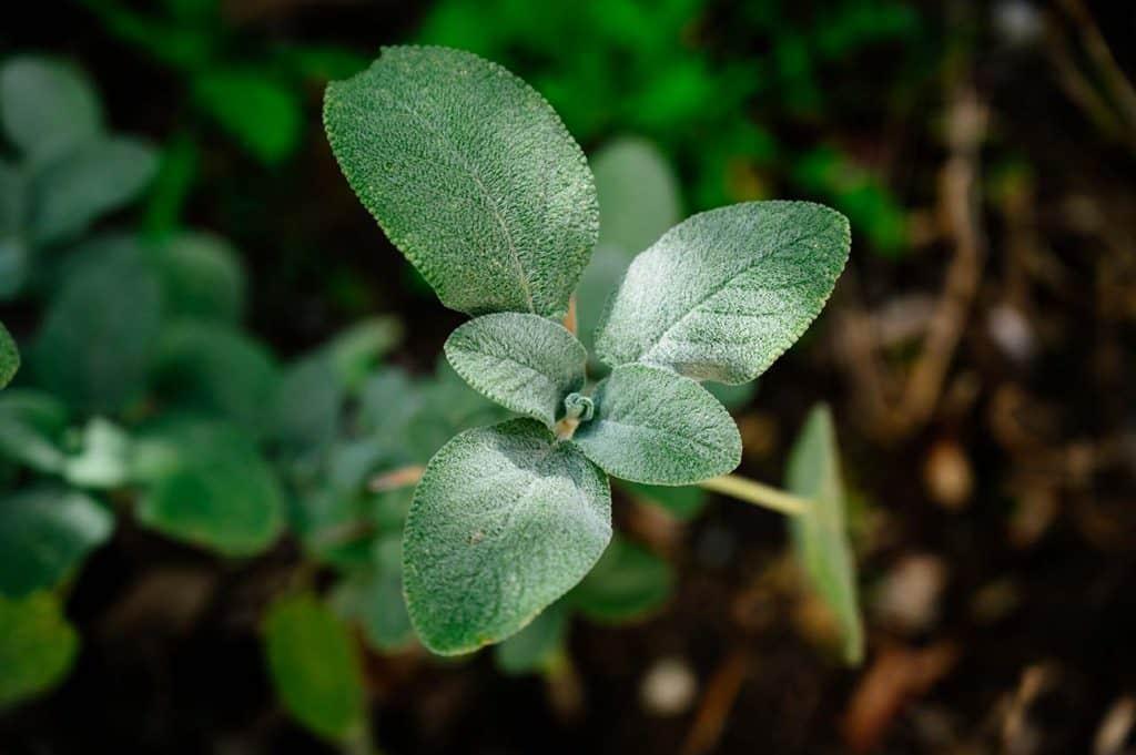 salvia officinalis piantare