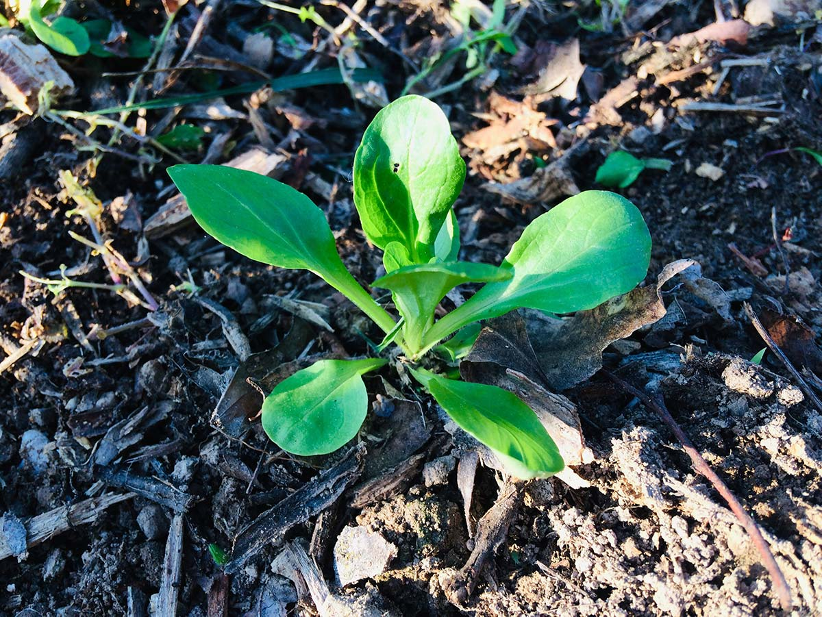Valerianella (soncino): scheda tecnica di coltivazione