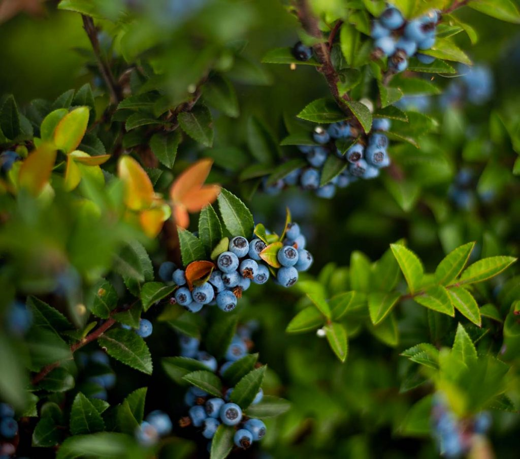 varietà mirtilli rossi neri americani